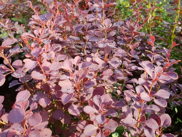 Барбарис Тунберга Атропурпуреа (Berberis thunbergii Atropurpurea) ФОТО Питомник растений Природа (Priroda) (2)
