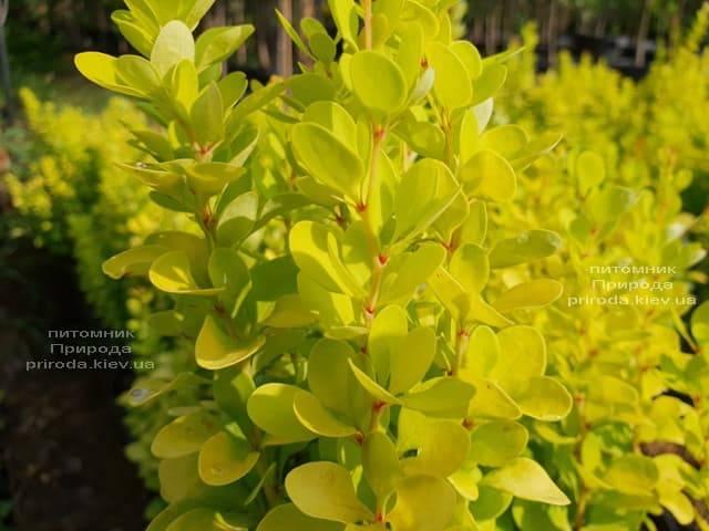 Барбарис Тунберга Голден Рокет (Berberis thunbergii Golden Rocket) ФОТО Розплідник рослин Природа (Priroda) (2)