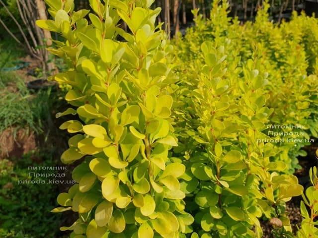 Барбарис Тунберга Голден Рокет (Berberis thunbergii Golden Rocket) ФОТО Розплідник рослин Природа (Priroda) (3)