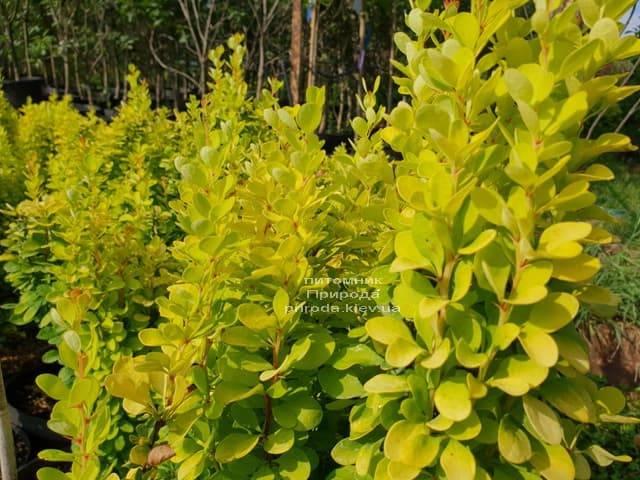 Барбарис Тунберга Голден Рокет (Berberis thunbergii Golden Rocket) ФОТО Розплідник рослин Природа (Priroda) (4)