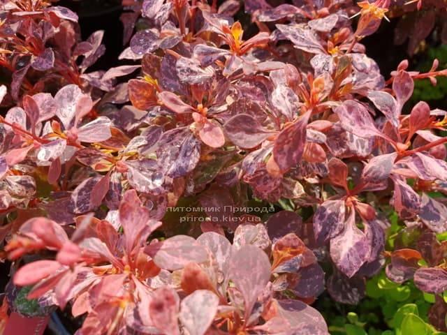 Барбарис Тунберга Инспирейшн (Berberis thunbergii Inspiration) ФОТО Питомник растений Природа (Priroda) (2)