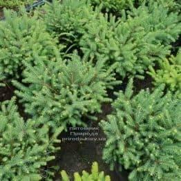 Ялина звичайна Нідіформіс (Picea abies Nidiformis) ФОТО Розплідник рослин Природа (Priroda) (1)