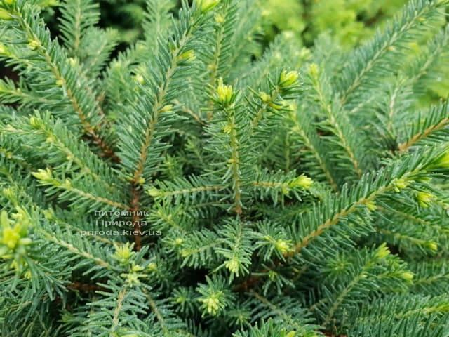 Ель обыкновенная Нидиформис (Picea abies Nidiformis) ФОТО Питомник растений Природа (Priroda) (4)