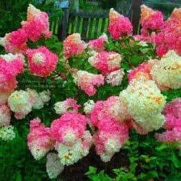Гортензія волотисте Ванилла Фрейзе (Hydrangea paniculata Vanille Fraise) ФОТО (1)