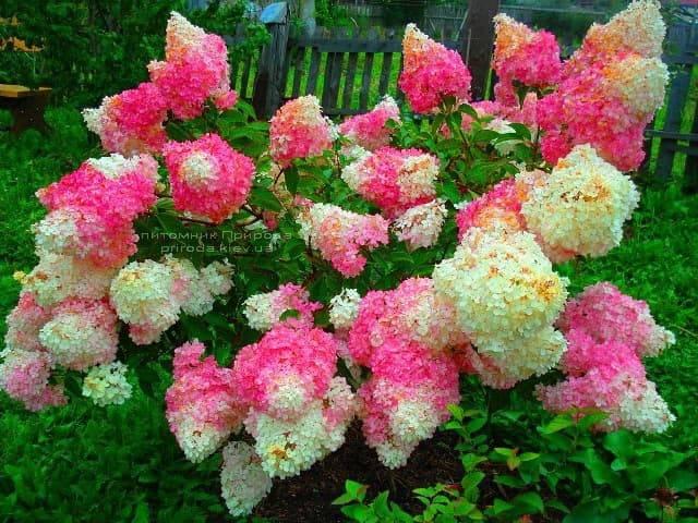 Гортензия метельчатая Ванилла Фрейз (Hydrangea paniculata Vanille Fraise) ФОТО (1)