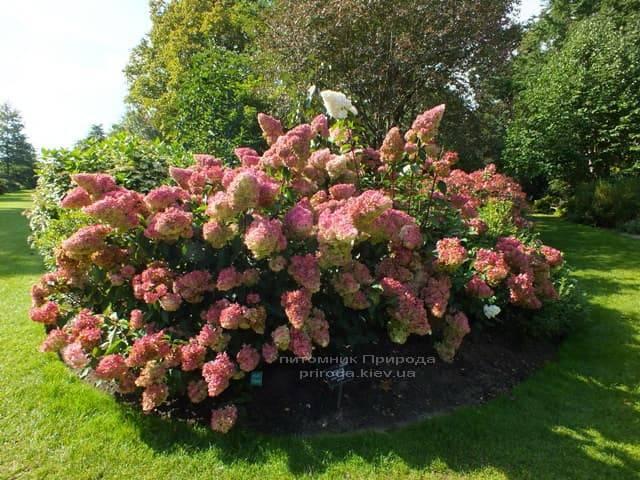 Гортензия метельчатая Ванилла Фрейз (Hydrangea paniculata Vanille Fraise) ФОТО (2)
