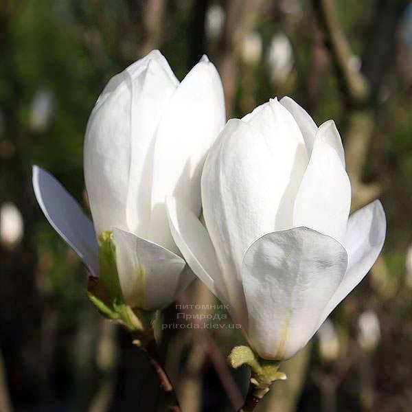Магнолия Суланжа Ленней Альба (Magnolia soulangeana Lennei Alba) (2)
