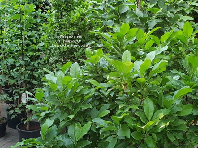 Магнолия Сюзан (Magnolia Susan) ФОТО Питомник растений Природа (Priroda) (4)