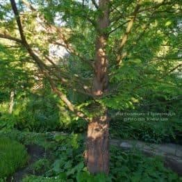 Метасеквойя китайська (Metasequoia glyptostroboides) ФОТО Розплідник рослин Природа Priroda (1)