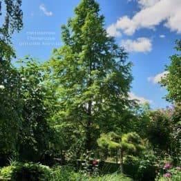 Метасеквойя китайська (Metasequoia glyptostroboides) ФОТО Розплідник рослин Природа Priroda (10)
