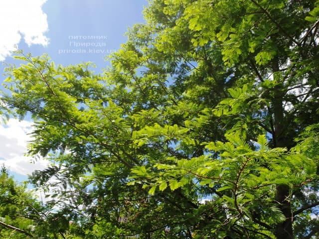Метасеквойя китайська (Metasequoia glyptostroboides) ФОТО Розплідник рослин Природа Priroda (11)
