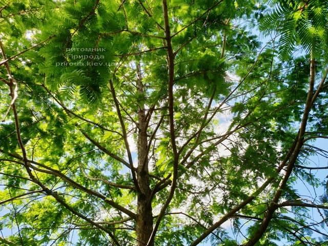 Метасеквойя китайская (Metasequoia glyptostroboides) ФОТО Питомник растений Природа Priroda (12)