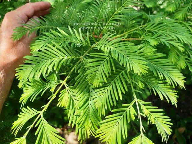 Метасеквойя китайська (Metasequoia glyptostroboides) ФОТО Розплідник рослин Природа Priroda (13)