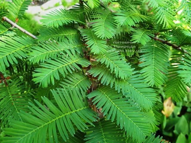 Метасеквойя китайська (Metasequoia glyptostroboides) ФОТО Розплідник рослин Природа Priroda (14)
