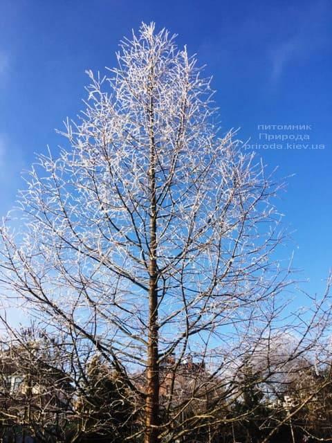 Метасеквойя китайська (Metasequoia glyptostroboides) ФОТО Розплідник рослин Природа Priroda (16)