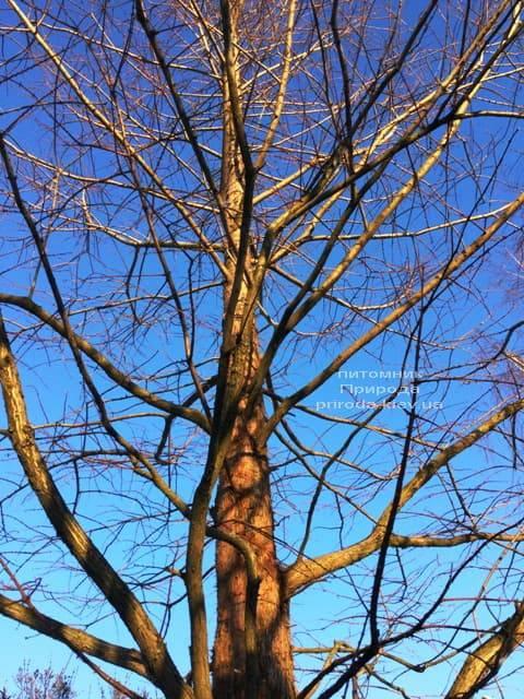 Метасеквойя китайська (Metasequoia glyptostroboides) ФОТО Розплідник рослин Природа Priroda (17)