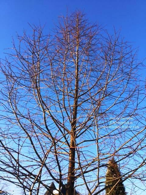 Метасеквойя китайська (Metasequoia glyptostroboides) ФОТО Розплідник рослин Природа Priroda (18)
