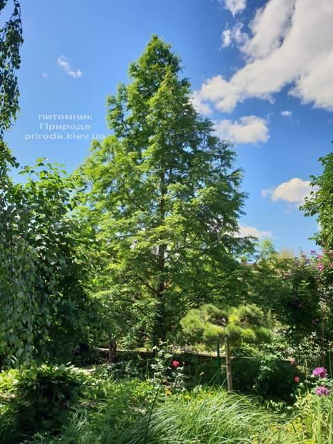 Метасеквойя китайська (Metasequoia glyptostroboides) ФОТО Розплідник рослин Природа Priroda (2)
