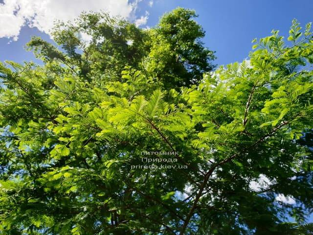 Метасеквойя китайская (Metasequoia glyptostroboides) ФОТО Питомник растений Природа Priroda (3)