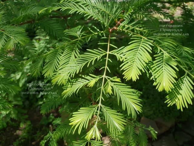 Метасеквойя китайская (Metasequoia glyptostroboides) ФОТО Питомник растений Природа Priroda (4)