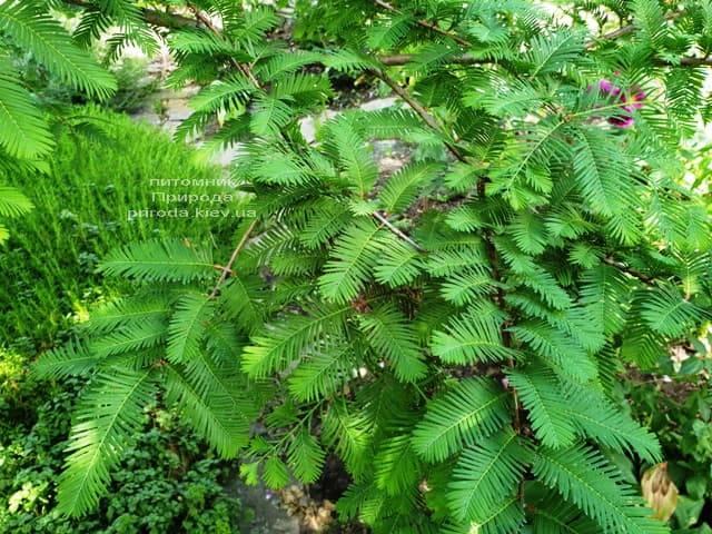 Метасеквойя китайская (Metasequoia glyptostroboides) ФОТО Питомник растений Природа Priroda (5)