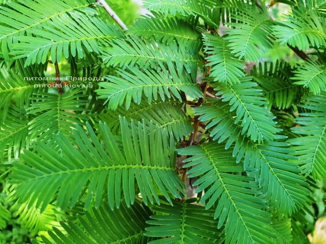 Метасеквойя китайская (Metasequoia glyptostroboides) ФОТО Питомник растений Природа Priroda (6)