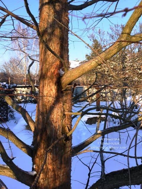 Метасеквойя китайская (Metasequoia glyptostroboides) ФОТО Питомник растений Природа Priroda (9)