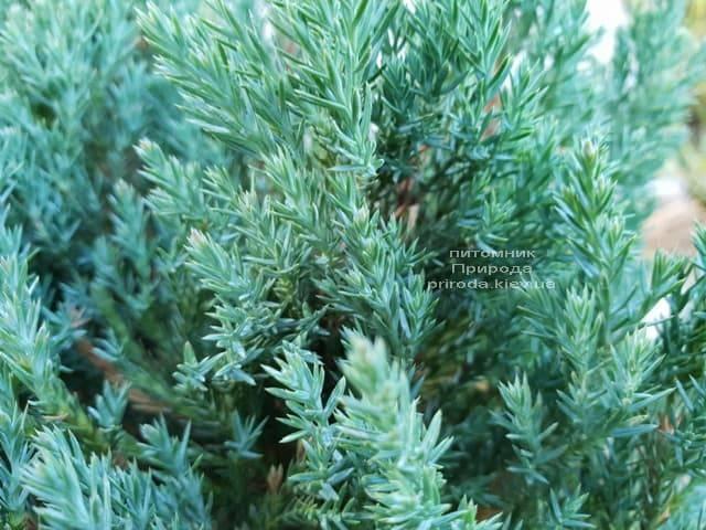 Можжевельник горизонтальный Блю Форест (Juniper horizontalis Blue Forest) ФОТО Питомник растений Природа (Priroda) (4)