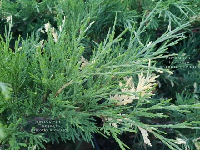 Можжевельник казацкий Вариегата (Juniperus sabina Variegata) ФОТО Питомник растений Природа (Priroda) (1)