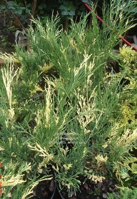 Можжевельник казацкий Вариегата (Juniperus sabina Variegata) ФОТО Питомник растений Природа (Priroda) (3)