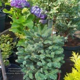 Пихта корейская Альпин Стар (Abies koreana Alpin Star) ФОТО Питомник растений Природа (Priroda) (1)