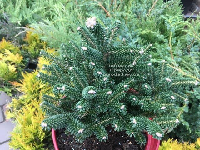 Ялиця корейська Альпін Стар (Abies koreana Alpin Star) ФОТО Розплідник рослин Природа (Priroda) (4)
