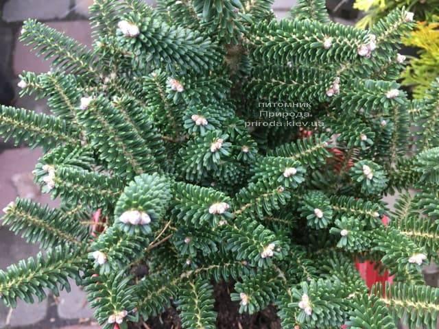 Ялиця корейська Альпін Стар (Abies koreana Alpin Star) ФОТО Розплідник рослин Природа (Priroda) (5)