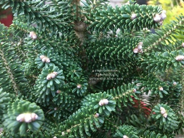 Ялиця корейська Альпін Стар (Abies koreana Alpin Star) ФОТО Розплідник рослин Природа (Priroda) (6)