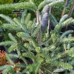 Пихта корейская Сильвер Стар (Abies koreana Silver Star) ФОТО Питомник растений Природа (Priroda) (1)