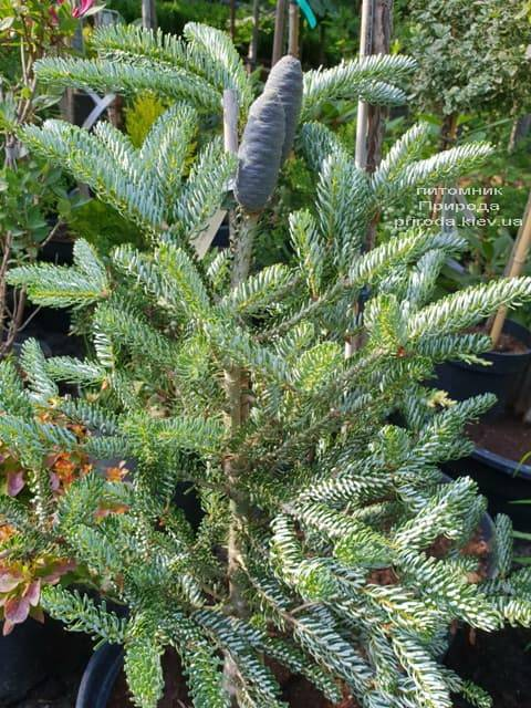 Пихта корейская Сильвер Стар (Abies koreana Silver Star) ФОТО Питомник растений Природа (Priroda) (2)