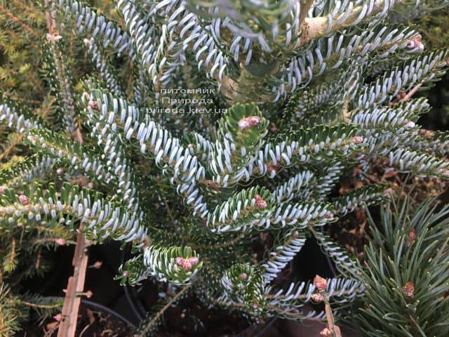 Пихта корейская Сильвер Стар (Abies koreana Silver Star) ФОТО Питомник растений Природа (Priroda) (4)