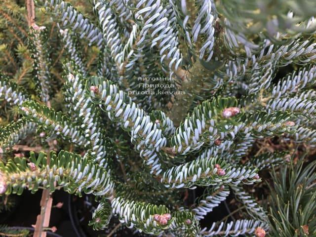 Пихта корейская Сильвер Стар (Abies koreana Silver Star) ФОТО Питомник растений Природа (Priroda) (5)
