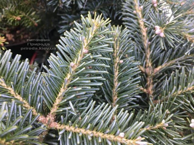 Пихта корейская Тання (Abies koreana Tannia) ФОТО Питомник растений Природа (Priroda) (6)
