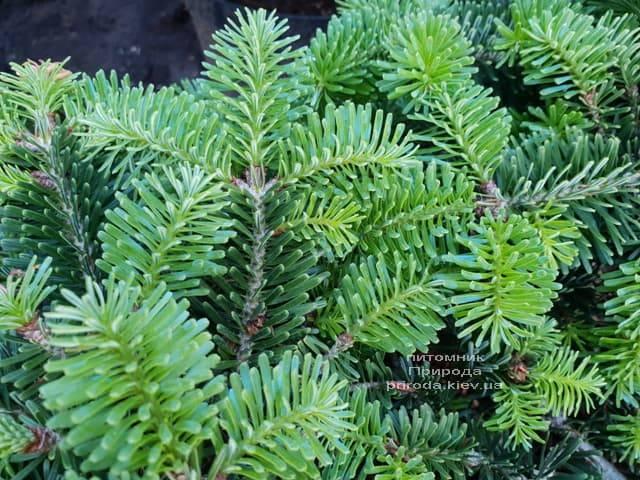 Ялиця Нордмана (кавказька) Старкерс Дварф (Abies Nordmanniana Starkers Dwarf) ФОТО Розплідник рослин Природа (Priroda) (1)