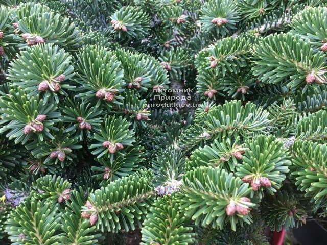 Ялиця Нордмана (кавказька) Старкерс Дварф (Abies Nordmanniana Starkers Dwarf) ФОТО Розплідник рослин Природа (Priroda) (3)