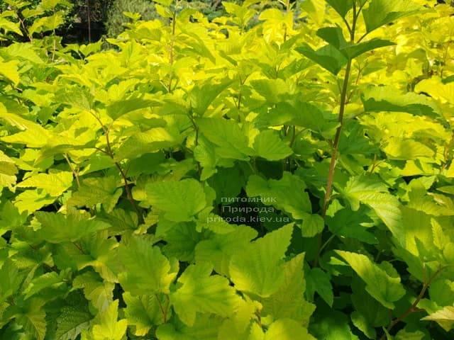 Пузыреплодник калинолистный Лютеус (Physocarpus opulifolius Luteus) ФОТО Питомник растений Природа (Priroda) (3)