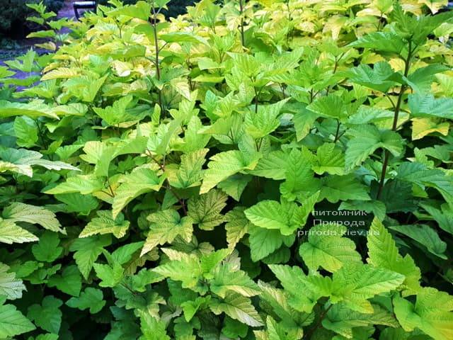 Пузыреплодник калинолистный Лютеус (Physocarpus opulifolius Luteus) ФОТО Питомник растений Природа (Priroda) (4)