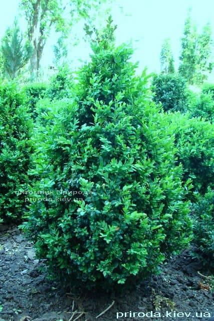 Самшит вечнозелёный Конус (Buxus sempervirens Konus) ФОТО Питомник растений Природа (Priroda) (1)