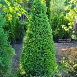 Самшит вечнозелёный Конус (Buxus sempervirens Konus) ФОТО Питомник растений Природа (Priroda) (3)