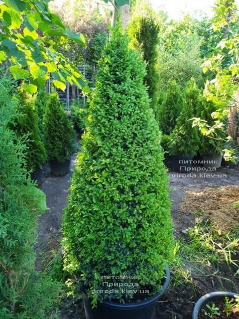 Самшит вічнозелений Конус (Buxus sempervirens Konus) ФОТО Розплідник рослин Природа (Priroda) (3)