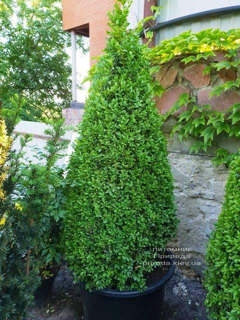 Самшит вечнозелёный Конус (Buxus sempervirens Konus) ФОТО Питомник растений Природа (Priroda) (4)