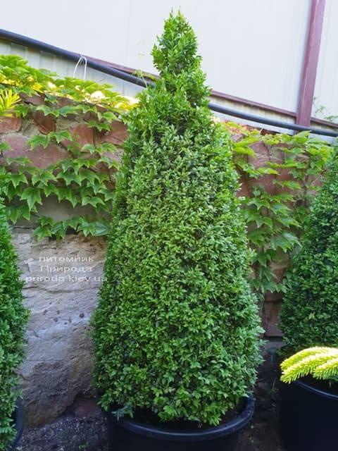 Самшит вечнозелёный Конус (Buxus sempervirens Konus) ФОТО Питомник растений Природа (Priroda) (5)