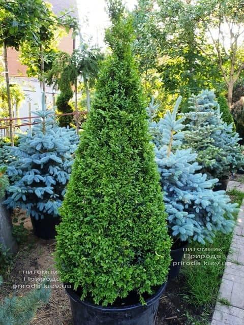 Самшит вечнозелёный Конус (Buxus sempervirens Konus) ФОТО Питомник растений Природа (Priroda) (8)