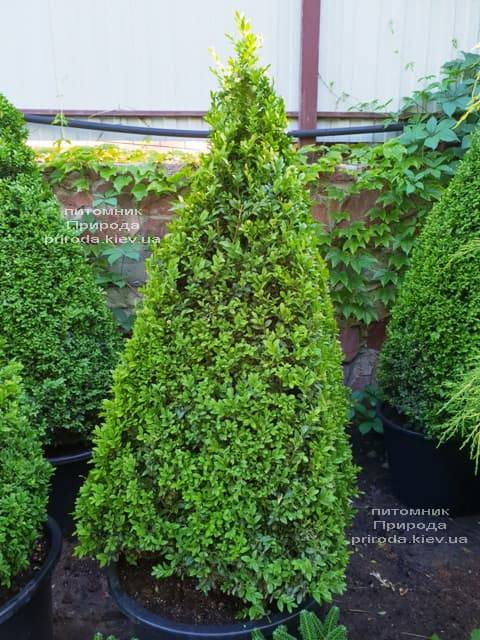 Самшит вечнозелёный Пирамида (Buxus sempervirens Piramida) ФОТО Питомник растений Природа (Priroda) (1)